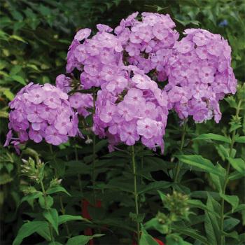 David's Lavender Phlox