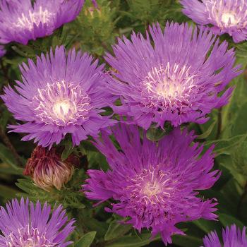 Honeysong Purple Stokesia