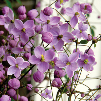 Splendide Thalictrum