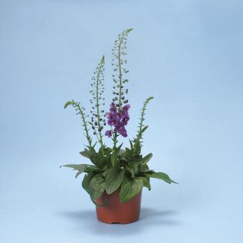 Temptress Purple Verbascum