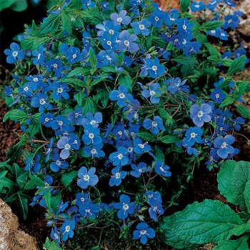 Bergen's Blue Veronica