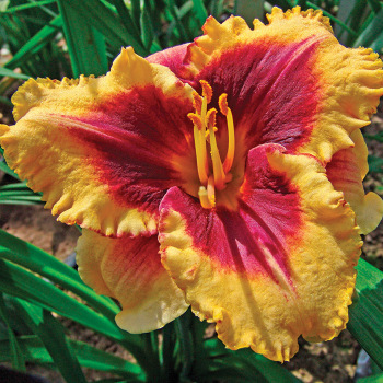 Eye On America Daylily