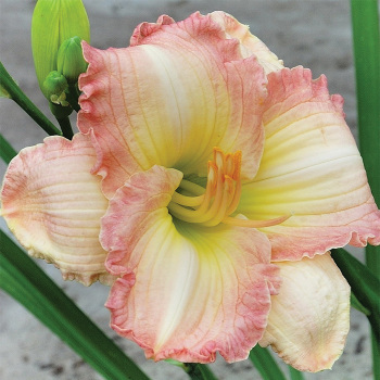 Frosted Vintage Ruffles Daylily