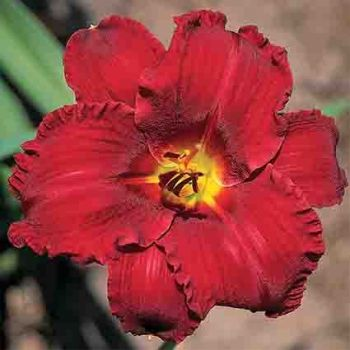 Old Time Rock N' Roll Daylily