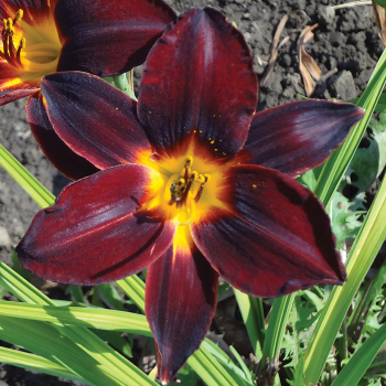 Root Beer Daylily