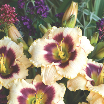 Daylily Blueberry Candy
