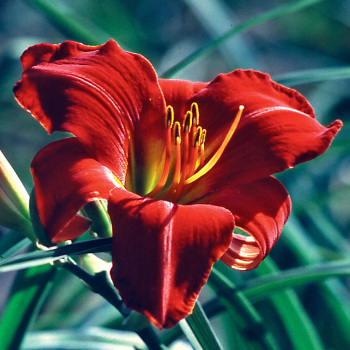 Chicago Fire Daylily