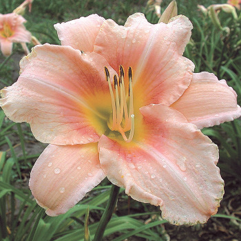 R&R Pink Marquise Daylily