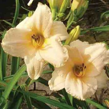 Daylily Strawberry Creme