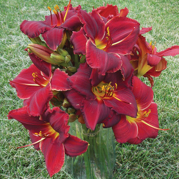 Daylily Ravishing Red Mix