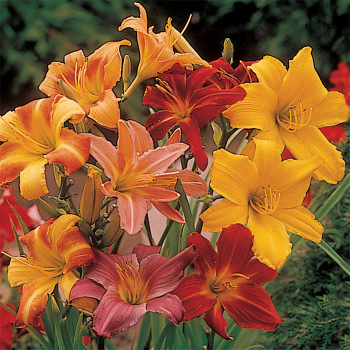 Daylily Elite Tetraploid Mix