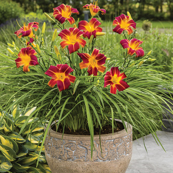 Everydaylily Red Ribs Daylily