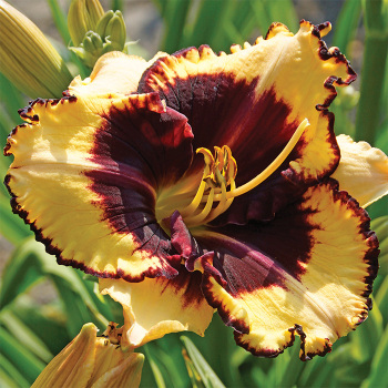 Daylily Tiger Blood