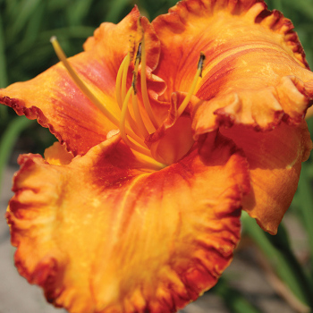 Volcano Queen Daylily
