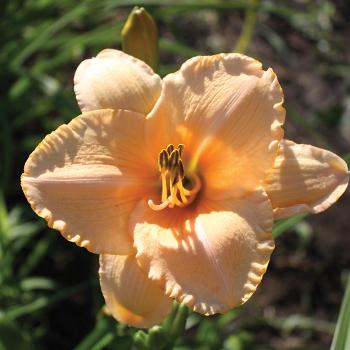 Daylily R&R Apricot Sorbet