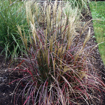 Little Miss Ornamental Grass