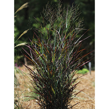 Hot Rod Ornamental Grass