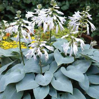 Bulletproof Hosta
