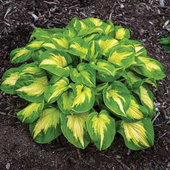 Etched Glass Hosta