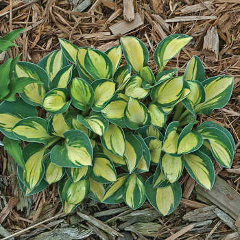 Pure Heart Hosta