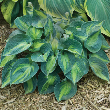 Rhino Hide Hosta