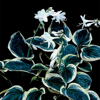 Hosta Diana Remembered