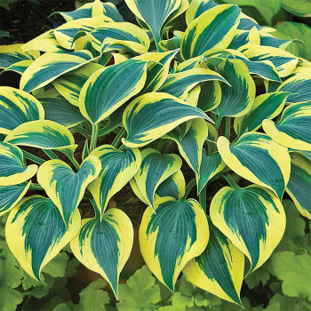 Autumn Frost Hosta