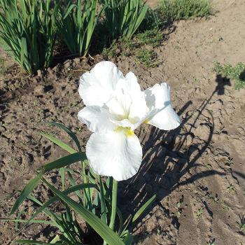 Siberian Iris Marshmallow Frosting