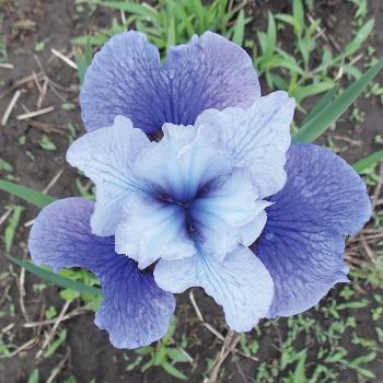 Siberian Iris Shall We Dance