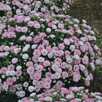 Dianthus Appleblossom Burst