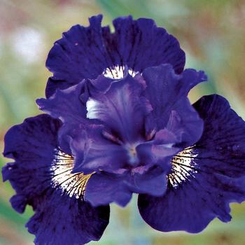 Over In Gloryland Siberian Iris
