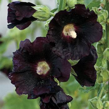 Alcea Spotlight Blacknight