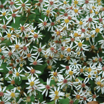 Eastern Star Aster