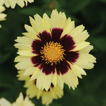 Coreopsis Uptick Cream & Red