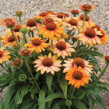 Prima Ginger Enchinacea