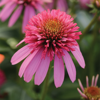 Double Scoop Bubble Gum Echinacea
