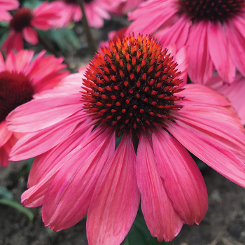 Eye-Catcher Coral Craze Echinacea