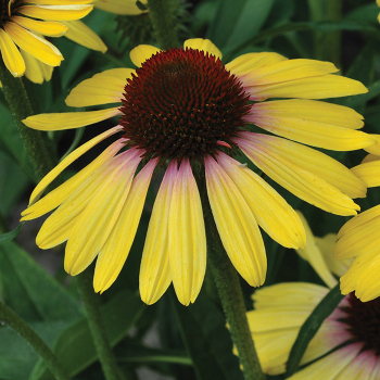 Echinacea Butterfly Yellow Rainbow Marcella