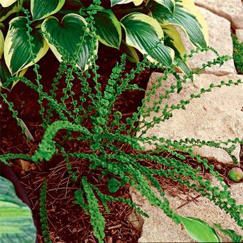 Fern Athyrium Frizelliae