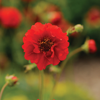 Blazing Sunset Geum