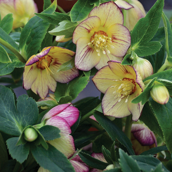 Honeymoon Tropical Sunset Helleborus