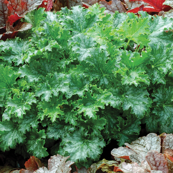 Apple Crisp Heuchera