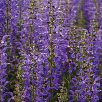 Color Spires Indigo Girl Salvia
