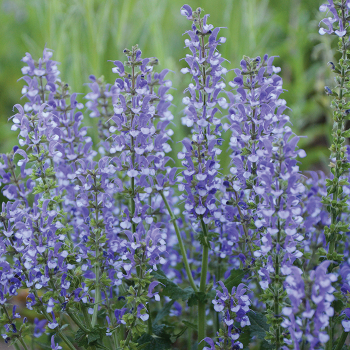 Color Spires Azure Snow Salvia