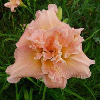 Perfect Pink Princess Daylily