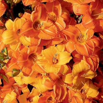 Sunset Celebration Daylily Mix