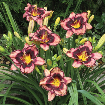 Simmons Overture Daylily