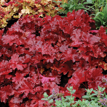 Forever Red Heuchera
