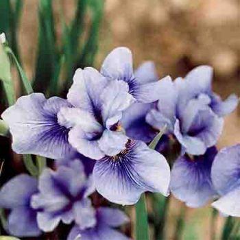 Siberian Iris Sky Mirror