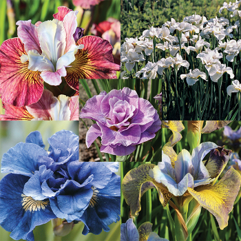 Popular Favorites Siberian Iris Collection